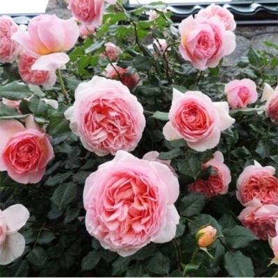 Роза штамбовая Абрахам Дерби