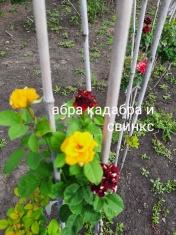 Роза штамбовая Абракадабра и Свинкс