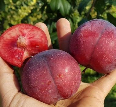 Гибрид персик-абрикос-слива Шарафуга, Нектакотум