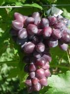 Виноград Абу-Хасан