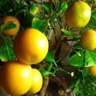 Апельсин Аджарский