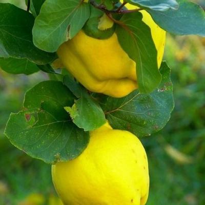 Айва яблоковидная Сочная