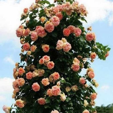 Роза Алхимист (шраб)