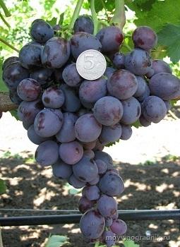 Виноград Али-баба