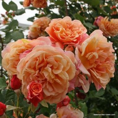 Роза Алоха плетистая