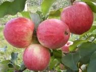 Яблоня Алые паруса (Украина)