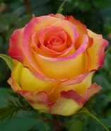 Роза чайно-гибридная Амбианс
