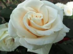 Роза чайно-гибридная Анастасия