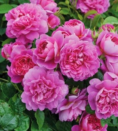 Роза английская Princess Anne