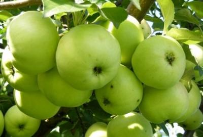 Яблоня Антоновка обыкновенная (осеннее)