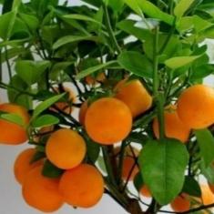 Апельсин Навелина Navelina