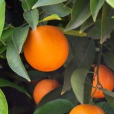 Апельсин Гамлин Хамлин Hamlin