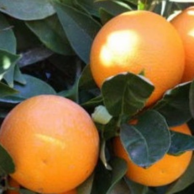 Апельсин Верна Verna