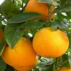Апельсин Салустина Salustiana