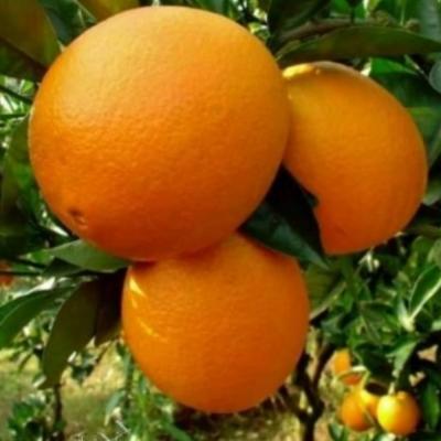 Апельсин Томсон Навел Thomson Navel