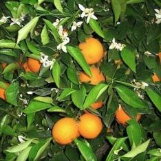 Апельсин Вашингтон навел