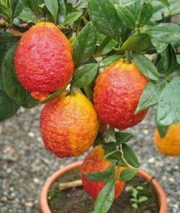 Дерево - сад Апельсин Фрагола или клубничный + лимон Киевский крупноплодный