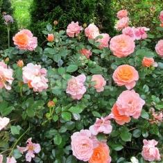 Роза бордюрная Априкот Санблейз