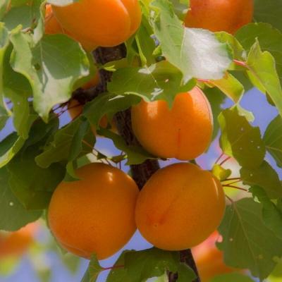 Априум абрикос-слива Хоней Рич