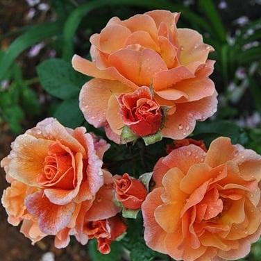 Роза английская Арабия