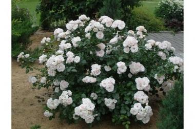 Роза флорибунда/почвопокровная Аспирин