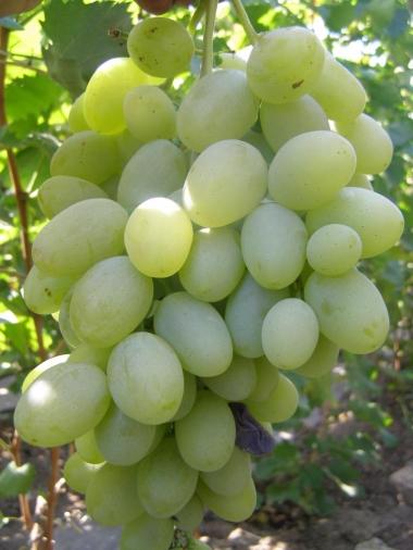 Виноград Атлант Змеева