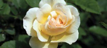 Роза чайно-гибридная Атланта