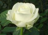 """Роза чайно-гибридная """"Аваланж""""\""""Аваланш""""\""""Avalanche"""""""