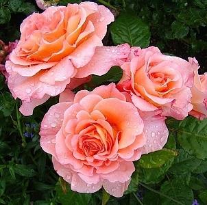 Роза чайно-гибридная Августа Луиза