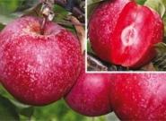 """Яблоня красномясая """"Байя Мариса"""" (Baya Marisa)(зимнее)"""