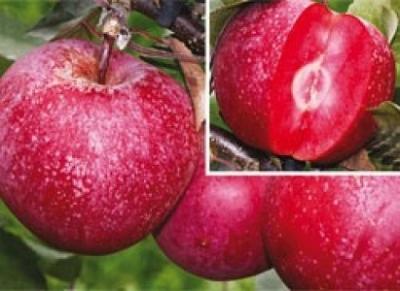 "Яблоня красномясая ""Байя Мариса"" (Baya Marisa)"