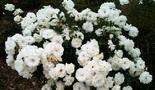 Роза почвопокровная Сноу Баллет