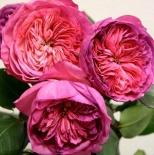 "Роза флорибунда ""Баронесса""\""Baronnesa"""