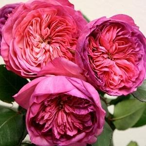 Роза флорибунда Баронесса\Baronnesa