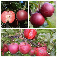 Дерево сад яблоня (Тринити+Эра+Бая Мариса)