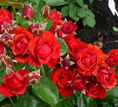Роза миниатюрная Бейби баккара