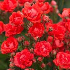 Роза бордюрная Беби Баккара