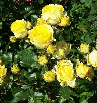 Роза бордюрная, спрей  Еллоу Бейби