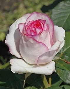 """Роза чайно-гибридная """"Белла Вита""""\""""Bella Vita"""""""