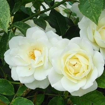 Роза плетистая Белянка
