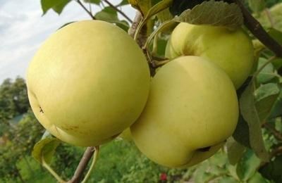 Яблоня Белый налив (летнее)