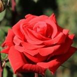 Роза ч/г Ред Берлин