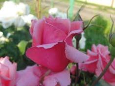 Роза чайно-гибридная Кристина