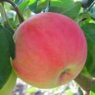 Яблоня Безгуда
