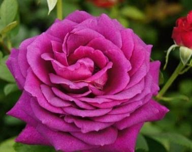 Роза чайно-гибридная Биг Пепл/Big Purple