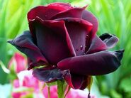 Роза ч/г Черный Принц
