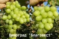 Виноград Благовест