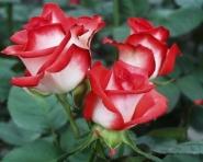 Роза ч/г  Блаш