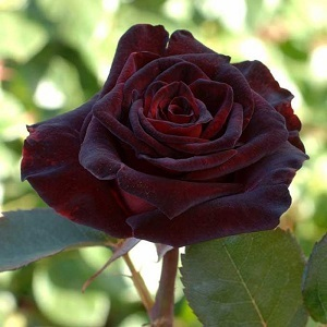 "Роза чайно-гибридная ""Блэк Баккара""\""Black Baccara"""