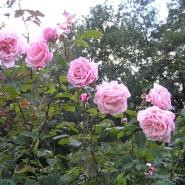 Роза  Плетистая Блоссомтайм